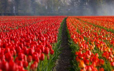 Verkoop aan huis groot succes voor tulpenboer uit Nieuwolda