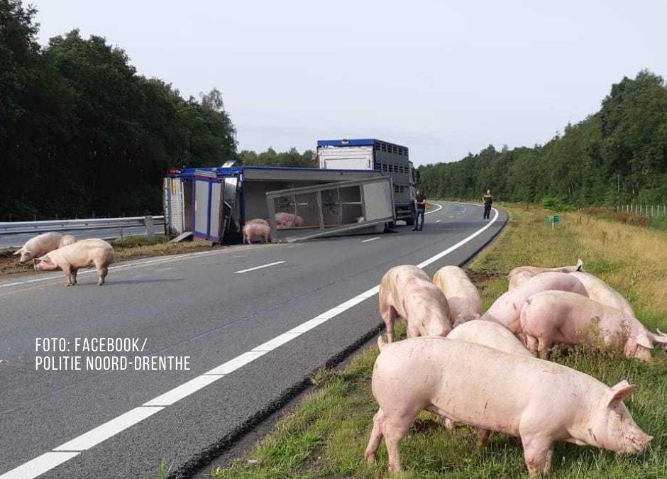Tiertransporter umgekippt: Schweine laufen auf die Bundesstraße