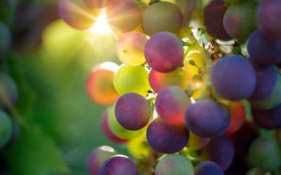 Friesischer Wein statt griechischer Wein: Die Trauben wurden schon geerntet