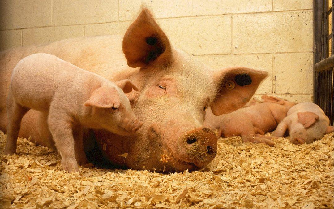 Fleischkonsum in den Niederlanden steigt – ist aber im Vergleich zu Deutschland noch relativ gering
