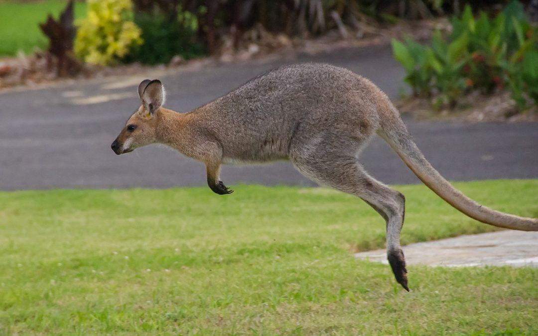Vermiste kangoeroe komt om bij botsing met auto