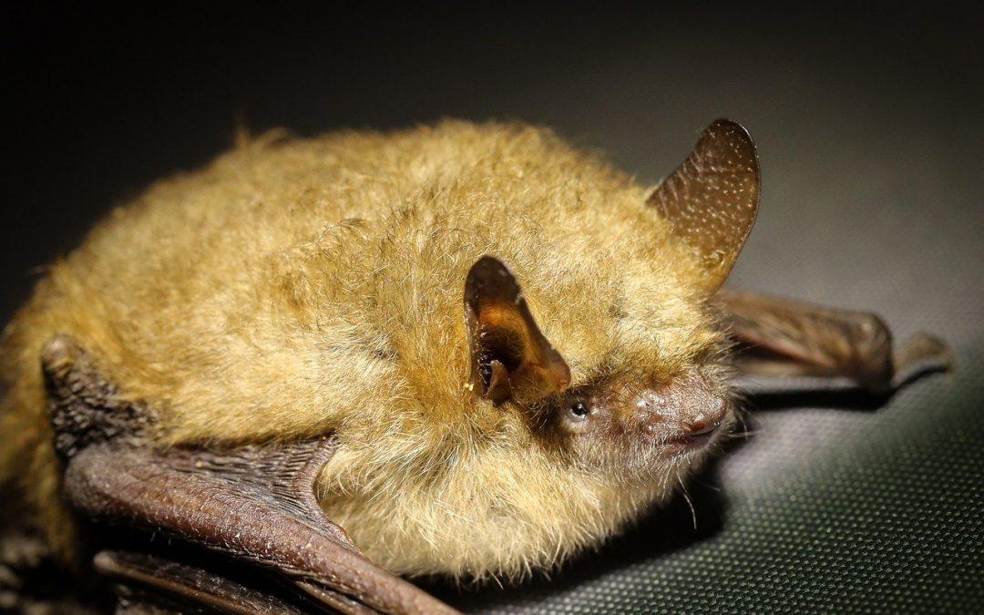 Kunnen ook vleermuizen in onze regio het coronavirus overdragen?