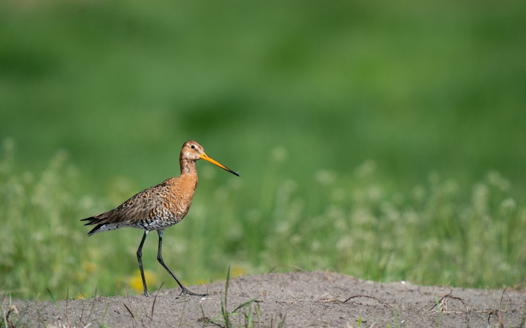 Forse subsidie ter bescherming van de boerenlandvogels