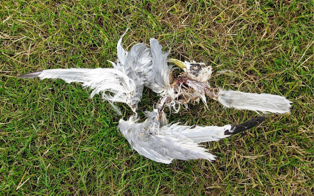 Honderden dode vogels ontdekt: grote zorgen om vogelgriepvirus in onze regio