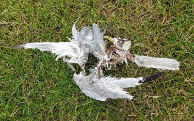 Hunderte tote Vögel entdeckt: Geflügelpest bereitet große Sorgen