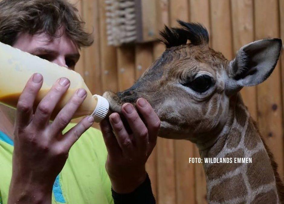 Giraffen-Nachwuchs in Emmen wird mit der Flasche aufgezogen